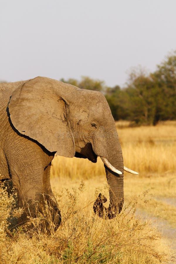 Elefante africano del matriarca che conduce il modo fotografia stock libera da diritti