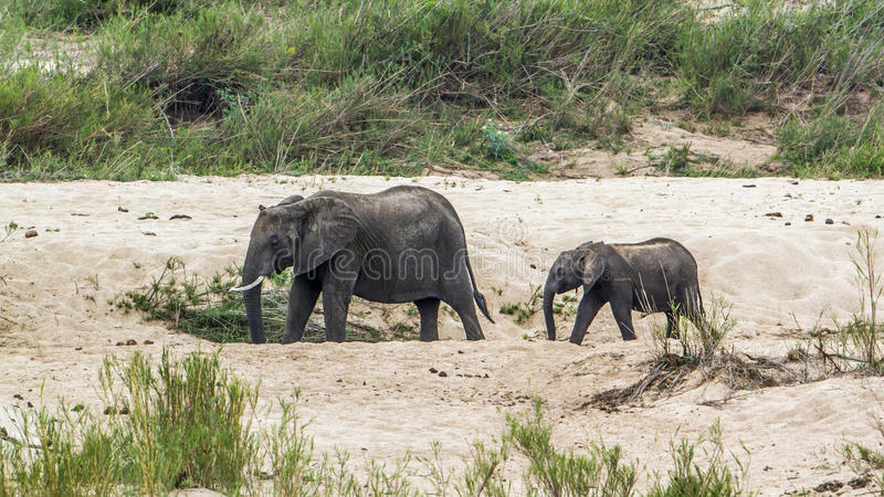 Elefante africano do arbusto no parque nacional de Kruger, África do Sul imagens de stock royalty free