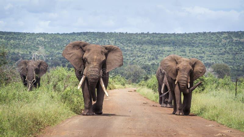 Elefante africano do arbusto no parque nacional de Kruger, África do Sul imagem de stock royalty free