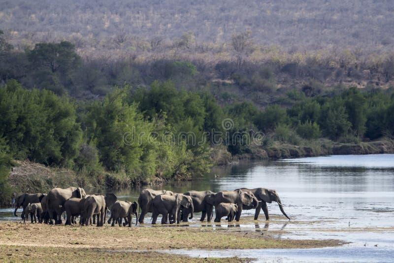 Elefante africano do arbusto no parque nacional de Kruger fotografia de stock
