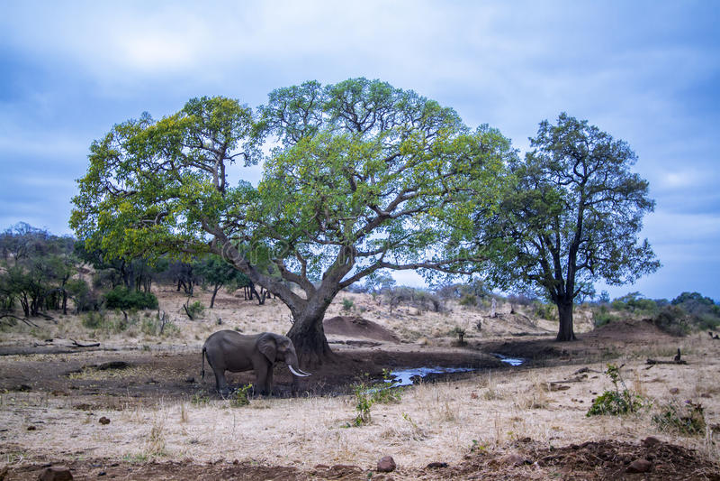 Elefante africano do arbusto no parque nacional de Kruger foto de stock royalty free