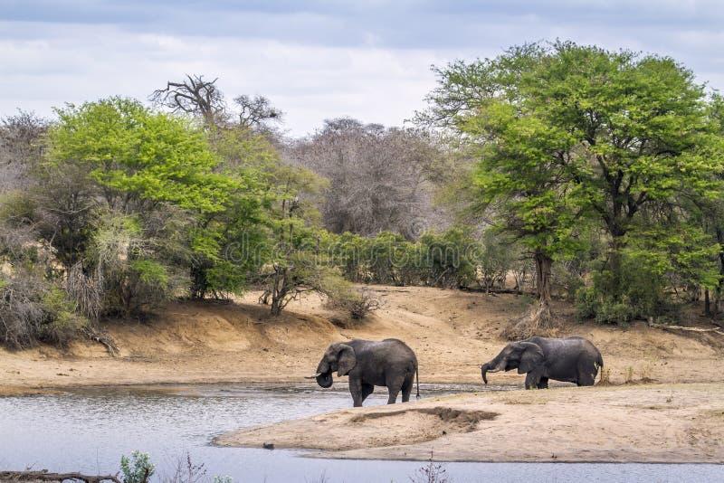 Elefante africano do arbusto no parque nacional de Kruger imagens de stock royalty free