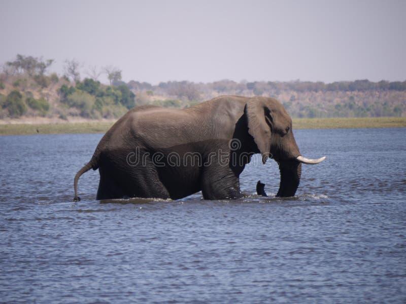Elefante africano do arbusto que cruza o rio de Chobe foto de stock