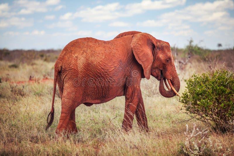 Elefante africano do arbusto, vermelho do africana do loxodonta da alimentação da poeira fotografia de stock