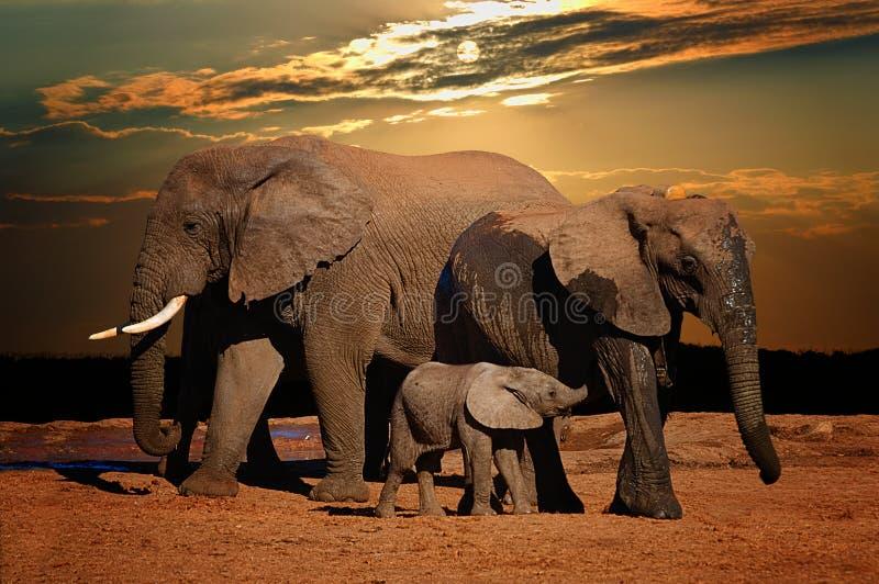 Elefante africano do bebê (africana do Loxodonta) que mama com seus pais no fim da tarde, Addo Elephant National Park foto de stock