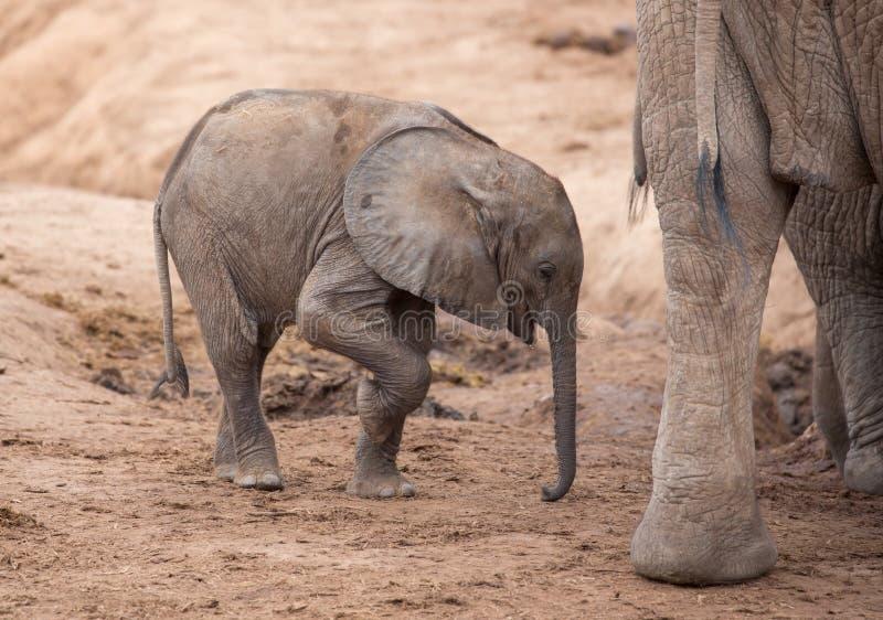Elefante africano do bebê cansado e sedento em um waterhole seco foto de stock