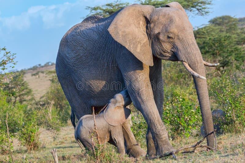 Elefante africano do bebê que mama da mãe imagem de stock