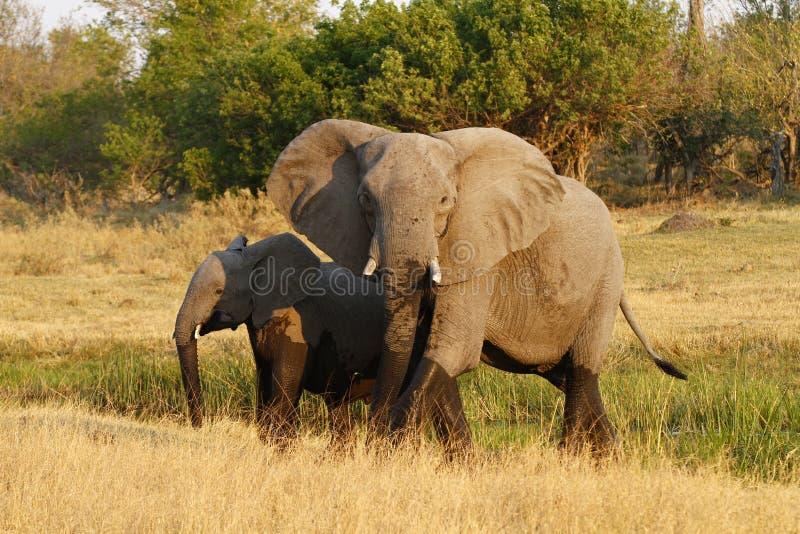 Elefante africano do Matriarch que conduz a maneira fotografia de stock royalty free