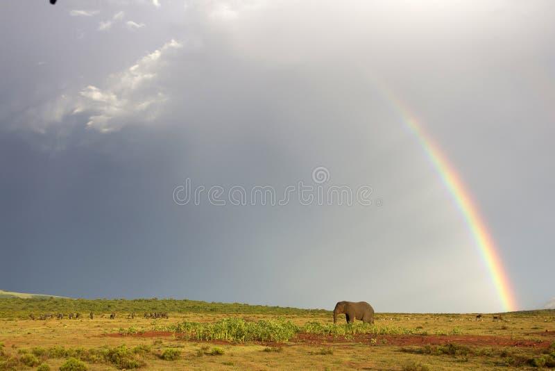 Elefante africano e arco-íris em África do Sul imagem de stock royalty free