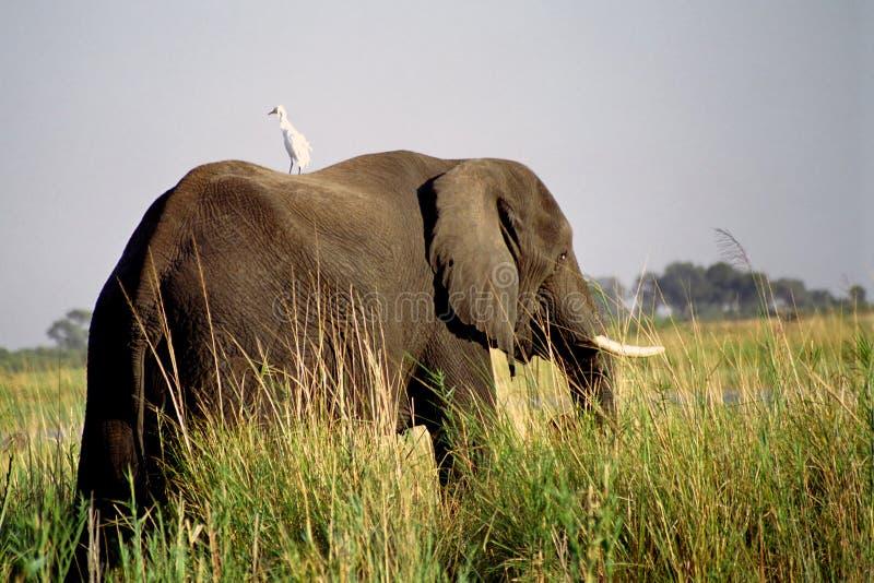 Elefante africano e egret de gado, parque nacional de Chobe, Botswana fotografia de stock