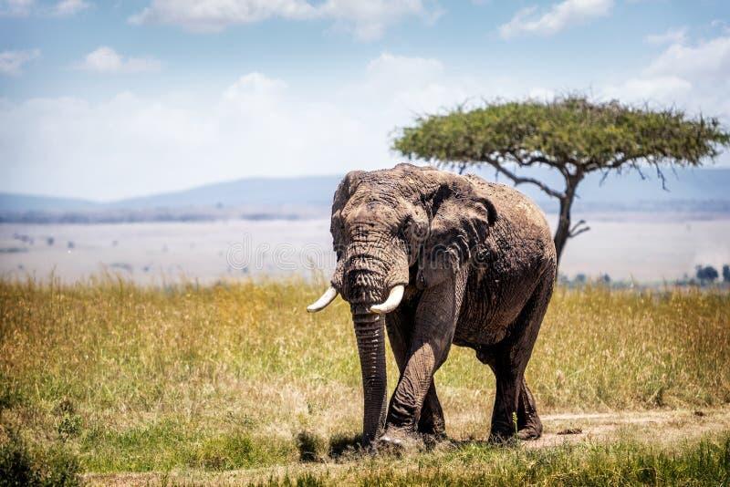 Elefante africano em Kenya África imagem de stock