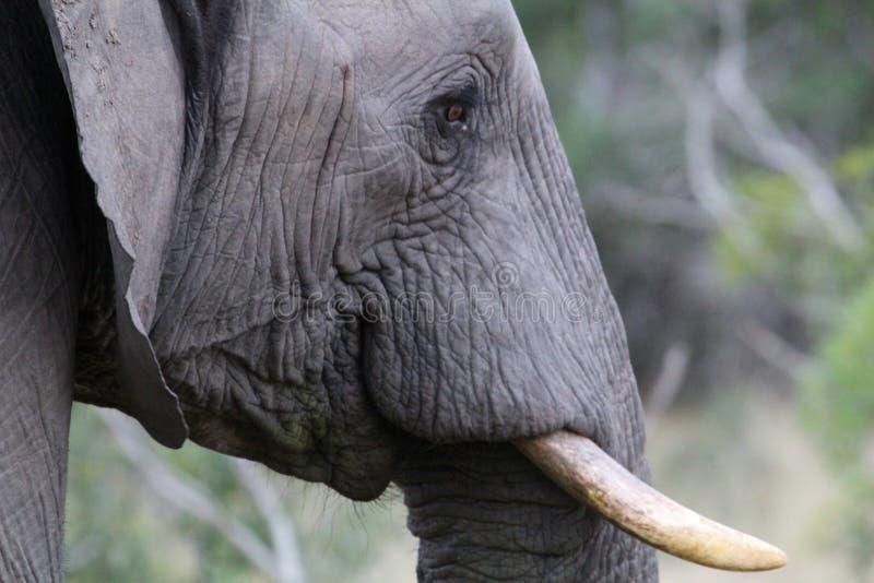 Elefante africano em Kruger Nationalpark foto de stock