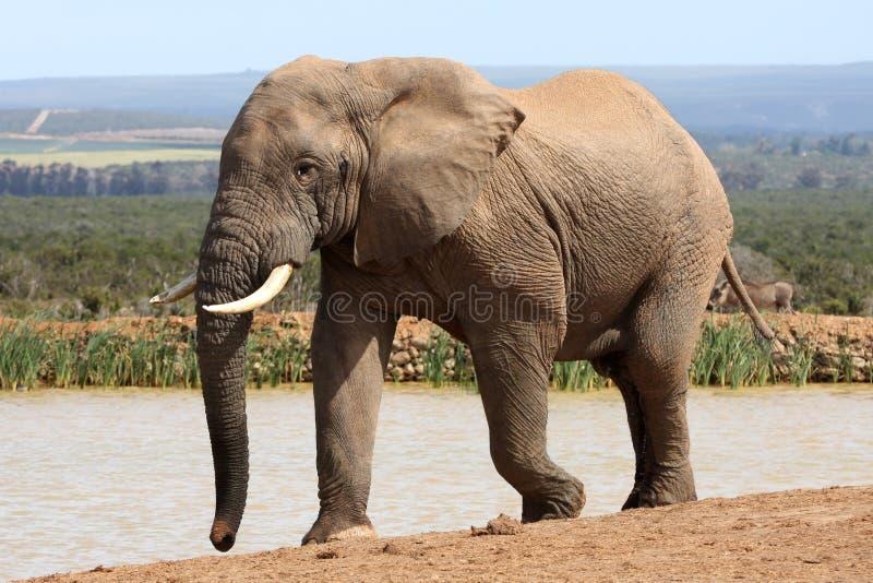 Elefante africano em Musth imagem de stock royalty free