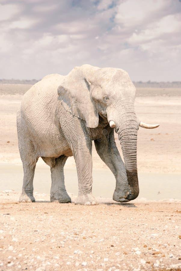 Elefante africano em Namíbia - o parque nacional de Etosha foto de stock royalty free