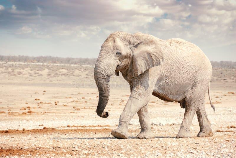 Elefante africano em Namíbia - o parque nacional de Etosha imagens de stock