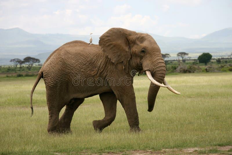 Elefante africano en Amboseli fotografía de archivo