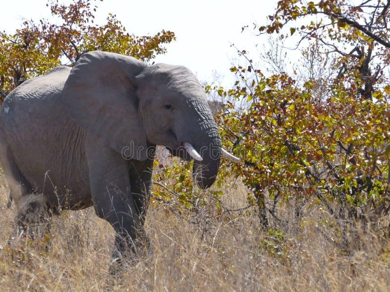 Elefante africano en el Mapungubwe fotografía de archivo