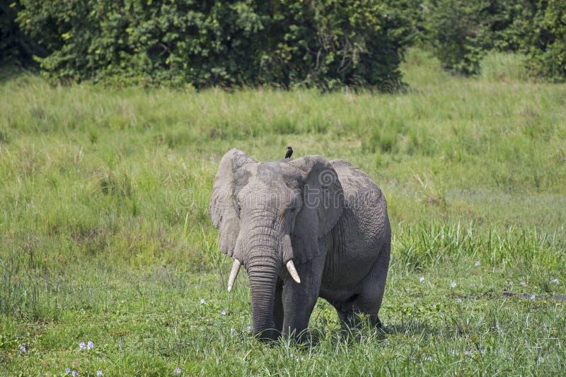 Elefante africano en el salvaje foto de archivo