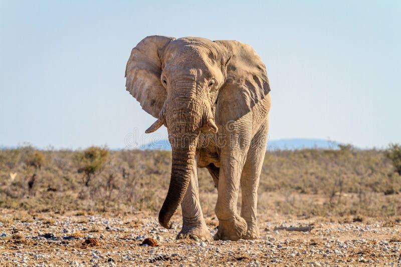 Elefante africano en el waterhole en el parque nacional de Etosha, Namibia fotos de archivo libres de regalías