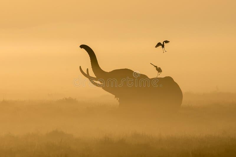 Elefante africano en la niebla de la mañana en la salida del sol en Amboseli, Ken imagen de archivo