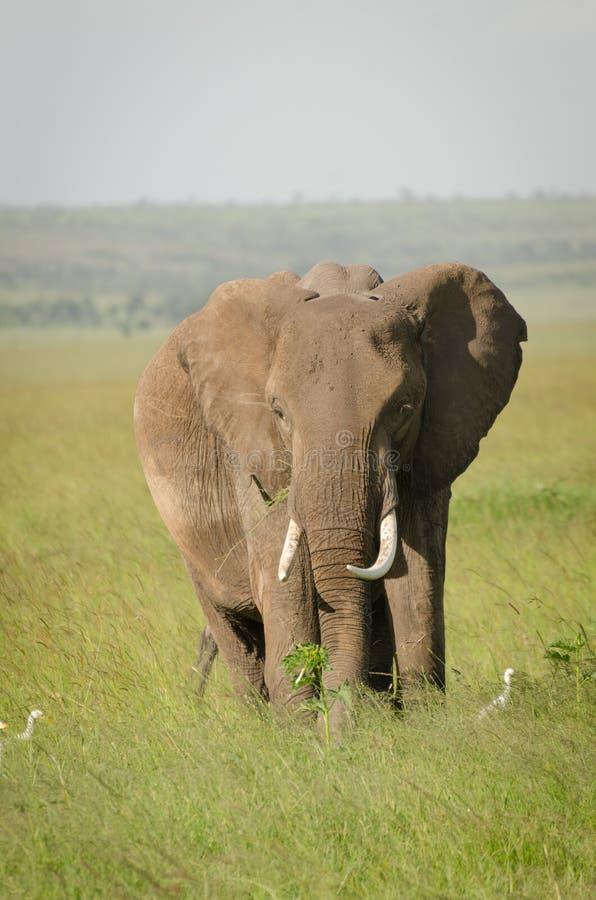 Elefante africano en Masai Mara National Reserve, Kenia foto de archivo libre de regalías
