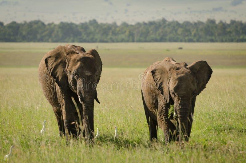 Elefante africano en Masai Mara National Reserve, Kenia imagenes de archivo