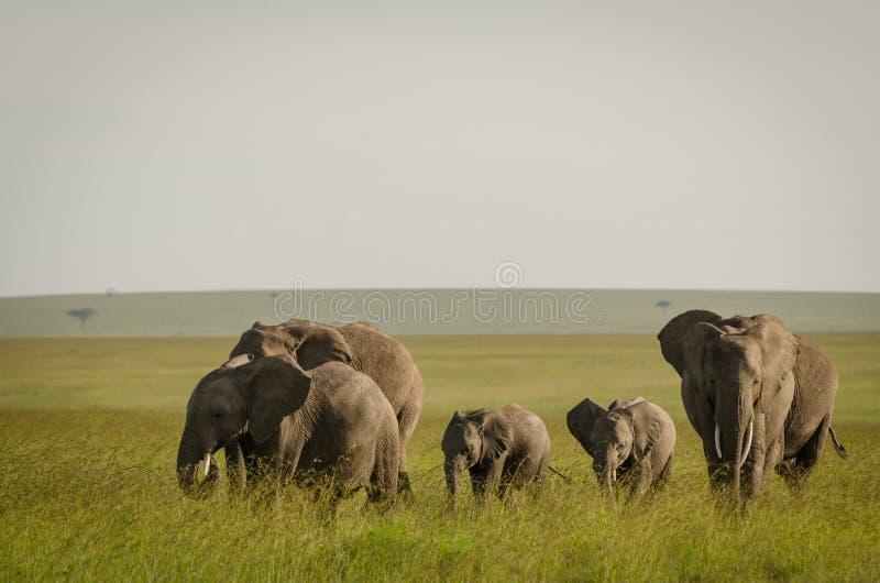 Elefante africano en Masai Mara National Reserve, Kenia fotos de archivo libres de regalías
