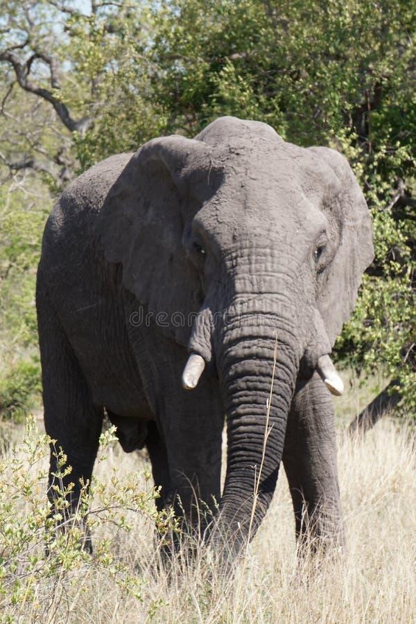 Elefante africano en parque nacional del kruger fotos de archivo