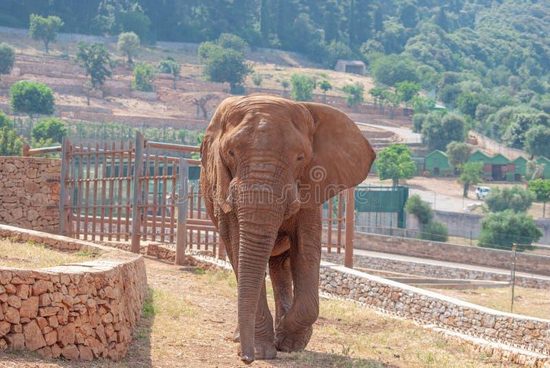 Elefante africano en su hábitat, dentro de una reserva del safari imágenes de archivo libres de regalías