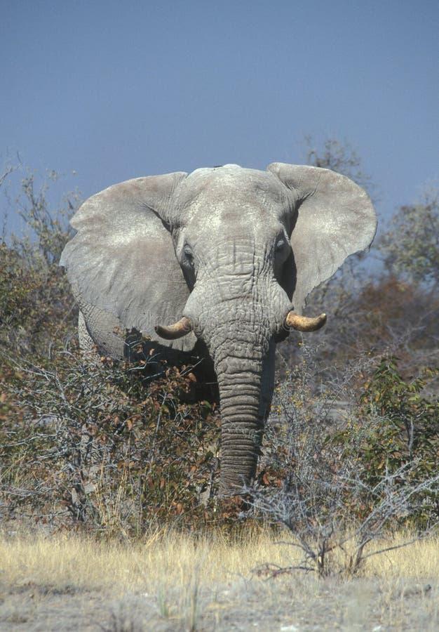 Elefante africano enorme imagen de archivo