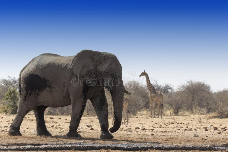 Elefante africano enorme in Namibia fotografia stock libera da diritti