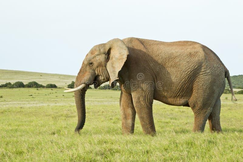 Elefante africano enorme que se coloca en hierba gruesa imagen de archivo libre de regalías