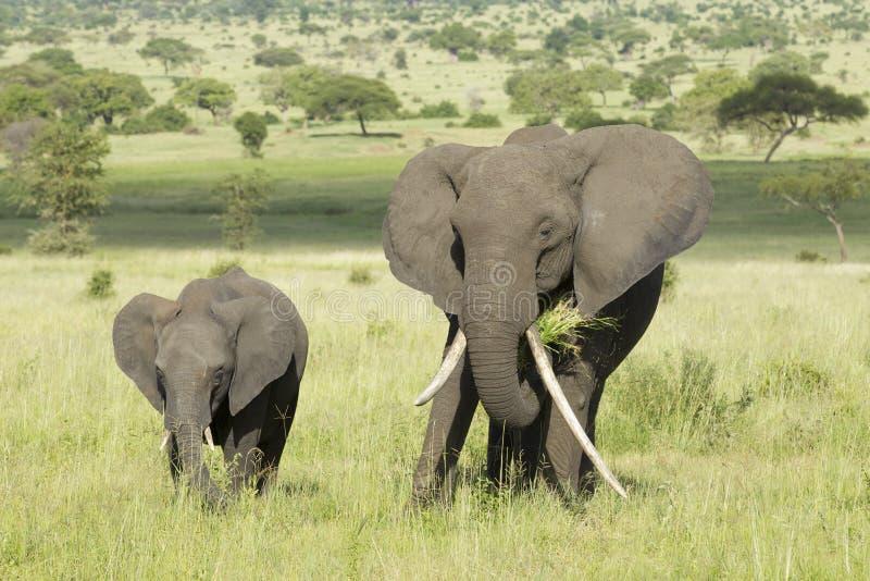 Elefante africano fêmea com presa longa (africana do Loxodonta) com fotos de stock royalty free