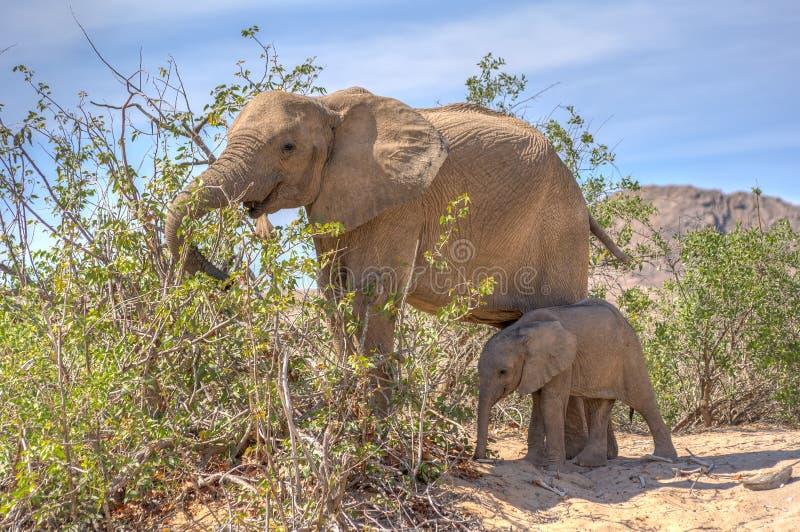 Elefante africano fêmea do deserto com o juvenil na área do rio de Hoanib imagem de stock royalty free