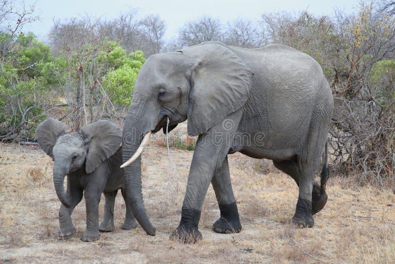 Elefante africano femminile del cespuglio con il bambino nel parco nazionale di Kruger immagini stock