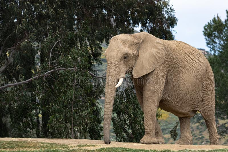 Elefante africano, hembra que camina, árboles en fondo, oídos grandes, animal potente pacífico tranquilo fotos de archivo
