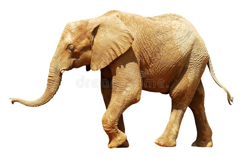 Elefante africano isolado foto de stock