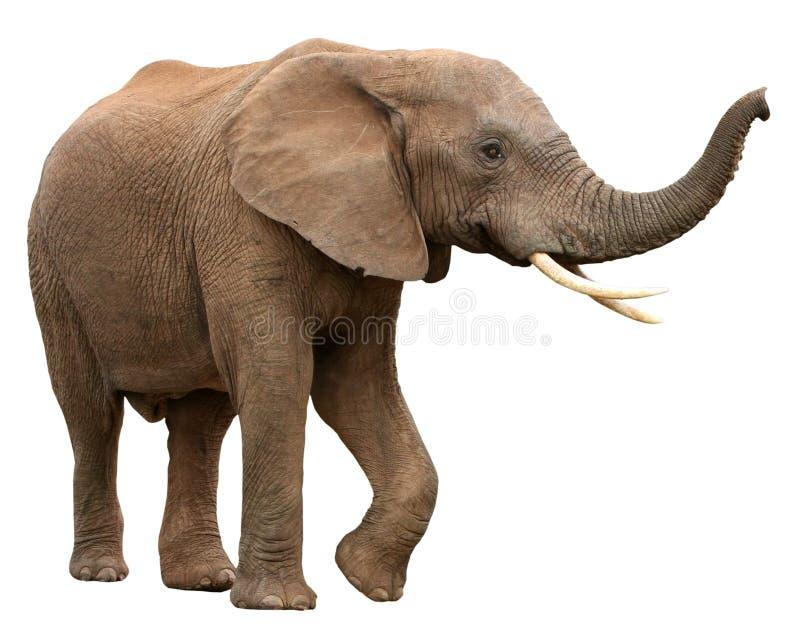 Elefante africano isolado no branco fotografia de stock