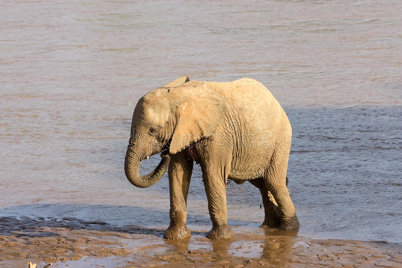 Elefante africano joven imagenes de archivo