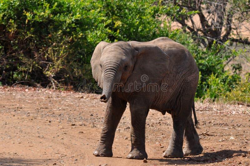 Elefante africano joven de la sabana en Kruger NP.South imágenes de archivo libres de regalías