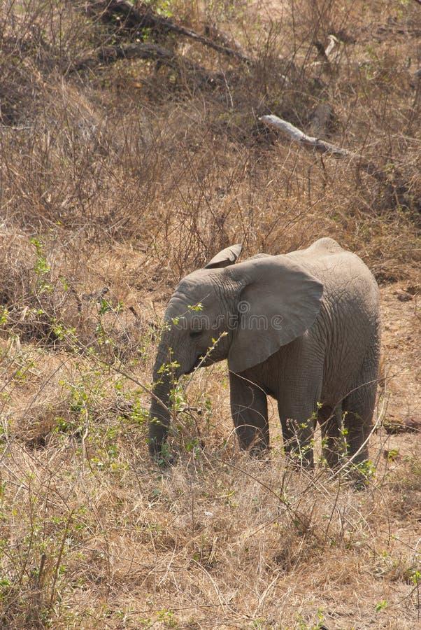 Elefante africano joven del arbusto fotografía de archivo
