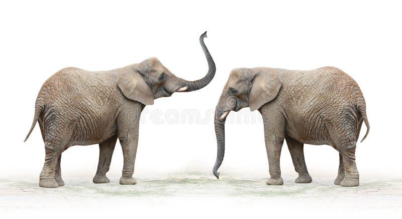 Elefante africano (loxodonta africana). fotografia stock libera da diritti