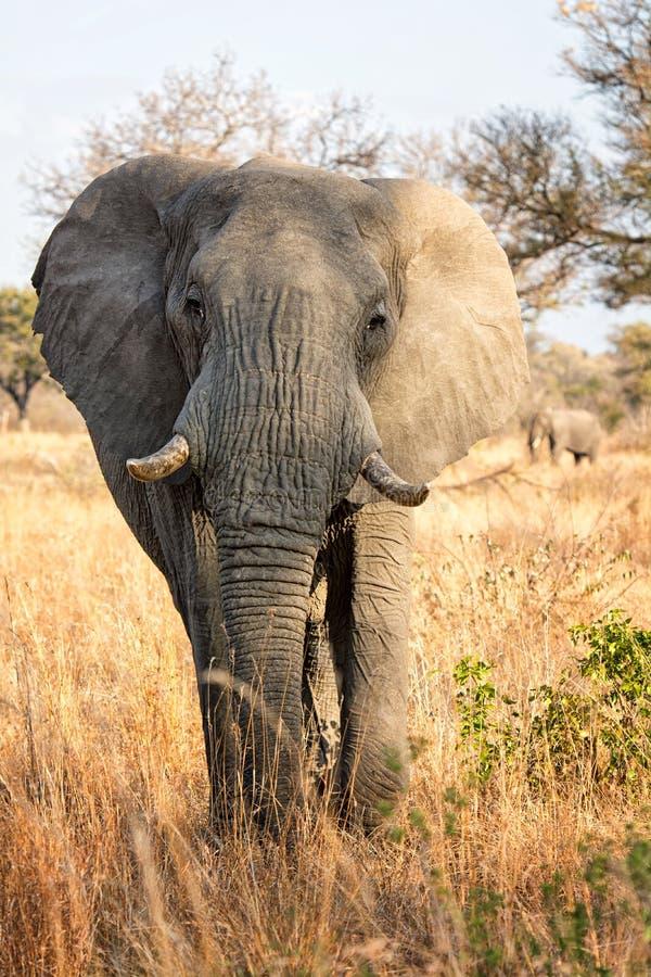 Elefante africano (loxodonta africana) fotografie stock