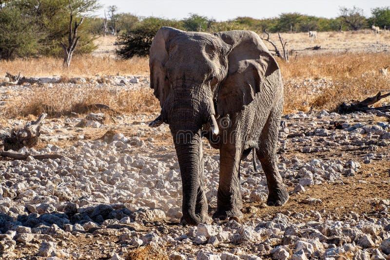 Elefante africano, Loxodonta Africana en el parque nacional de Etosha, Namibia fotografía de archivo