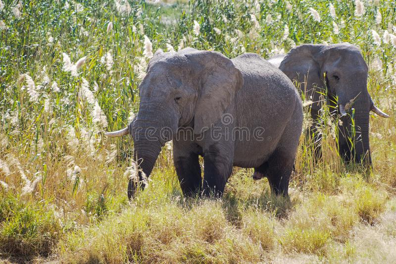 Elefante africano, Loxodonta Africana en el parque nacional de Etosha, Namibia foto de archivo