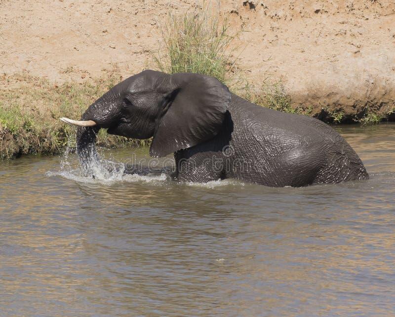 Elefante africano, Loxodonta Africana, haciendo un chapoteo en el río, foto de archivo libre de regalías