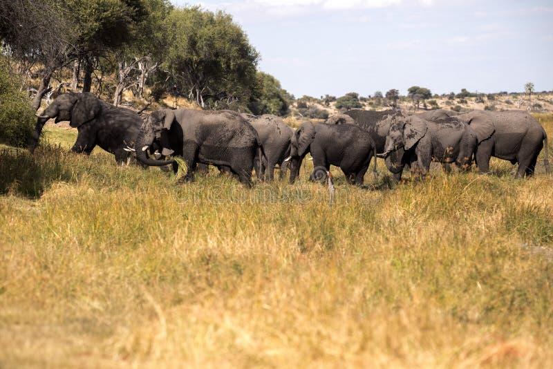 Elefante africano, Loxodonta a africana, nel fiume di Boteti, parco nazionale di Makgadikgadi, Botswana fotografie stock libere da diritti