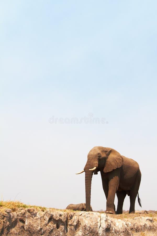 Elefante africano majestoso fotografia de stock royalty free