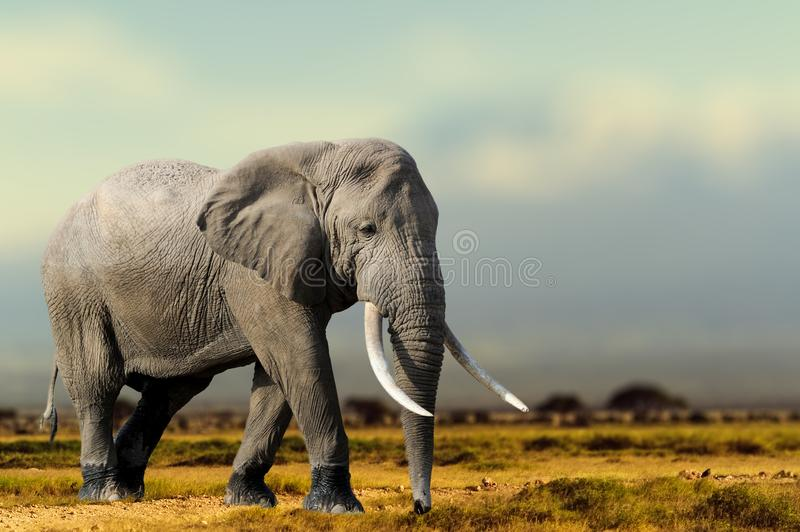 Elefante africano, masai Mara National Park, Kenya fotografie stock libere da diritti