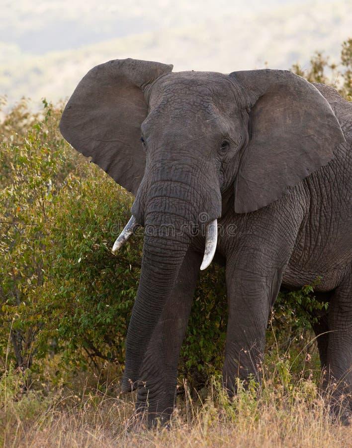 Elefante africano masculino fotos de stock royalty free